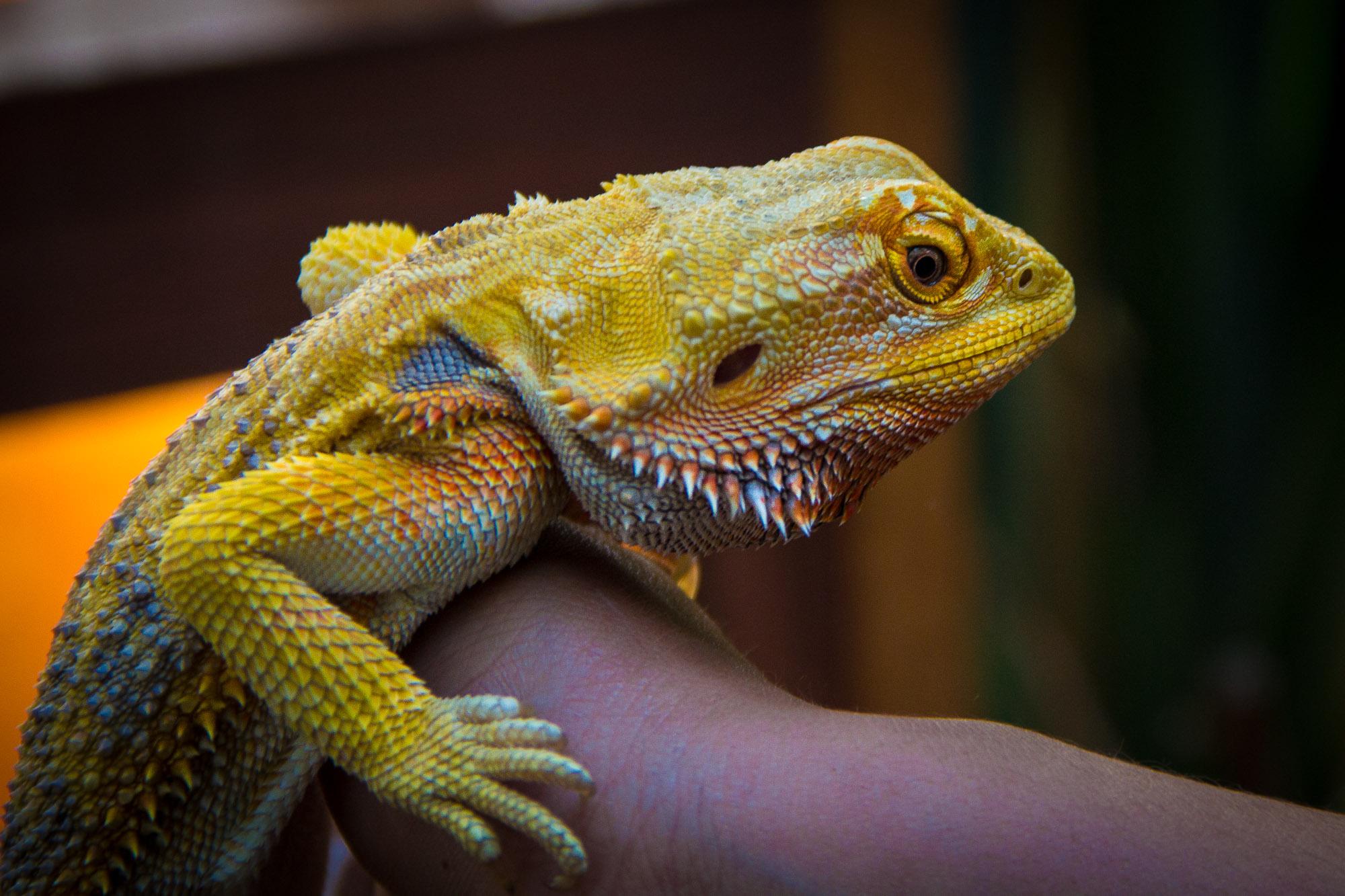 Uma iguana, nada sóbria, em seu disfarce natural